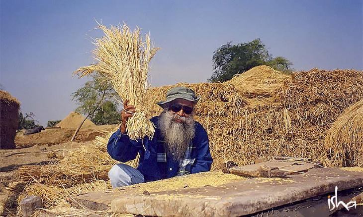 sadhguru-isha-wisdom-article-agriculture-can-be-the-next-economic-revolution-sadhguru-chaffing-wheat-kernels